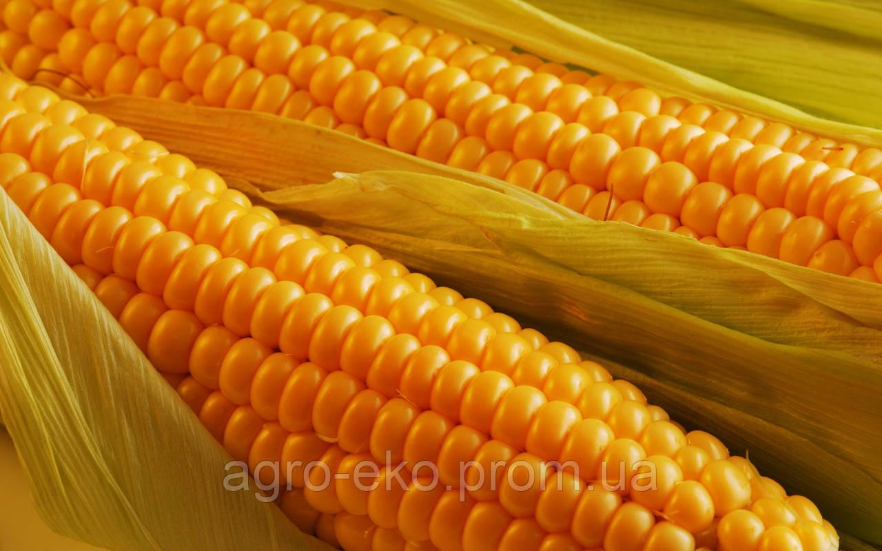 Кукуруза Богатырь