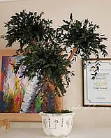 Дерево Евкалипт стабилизированный