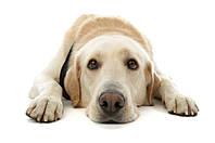 Подкожный клещ у собак и кошек: симптомы, диагностика и лечение.