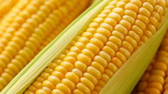 Новий гібрид ФАО 330 насіння кукурудзи
