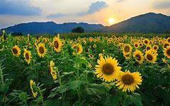 Выращивание подсолнечника основные аспекты