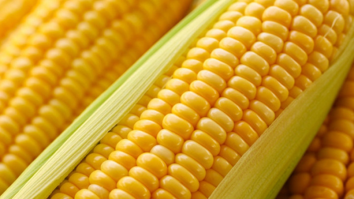 Гибрид Плевен  ФАО 270 семена кукурузы
