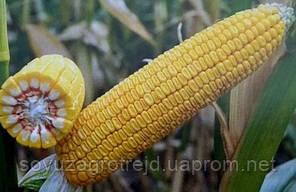 ДБ Хотин семена кукурузы от производителя