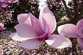 Магнолія Суланжа Lombardy Rose 2 річна, Магнолия Суланжа Ломбарди Роуз, Magnolia X soulangeana Lombardy Rose, фото 3