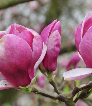 Магнолія Суланжа Lombardy Rose 2 річна, Магнолия Суланжа Ломбарди Роуз, Magnolia X soulangeana Lombardy Rose