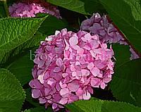 Гортензия FREUDENSTEIN (Hydrangea Freudenstein), фото 1