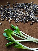 Расторопша пятнистая органические семена для проращивания. Упаковки по 200 грамм