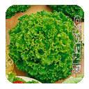 Семена салата листового (латук) Наско № 725 25 грамм Nasko