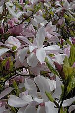 Магнолія pinkie 2 річна, Магнолія Стусани, Magnolia pinkie, фото 3