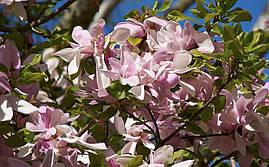Магнолія pinkie 2 річна, Магнолія Стусани, Magnolia pinkie, фото 2