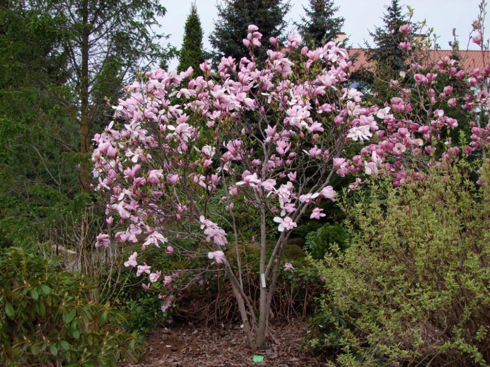 Магнолія pinkie 2 річна, Магнолія Стусани, Magnolia pinkie