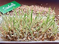 Ячмень, зерно ячменя органическое для проращивания 200 грамм