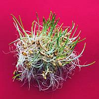 ЯЧМЕНЬ, зерно ячменя органическое для проращивания 100 грамм