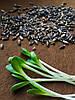 РАСТОРОПША Микрозелень пятнистая органические семена для проращивания 100 грамм