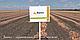 Семена лука Банко \ Banko 250000 семян Syngenta , фото 3