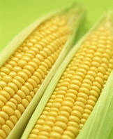 Семена кукурузы Харьковская 295 МВ