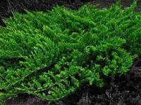 Можжевельник зелёный (prince of waies)(ялівець)