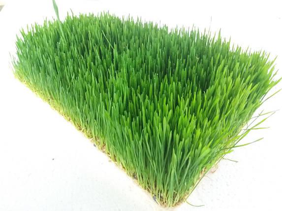 Пшеница ростки , фото 2