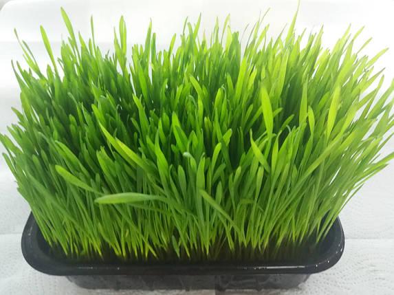 Пшеница ростки в лотке, фото 2
