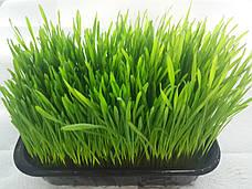 Пшеница ростки в лотке
