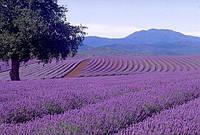 Подушка прямоугольная с лавандой Lavender Einkorn Pillow Rectangle Young Living