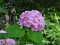 Гортензия MINI PENNY PINK (Hydrangea Mini Penny Pink), фото 1