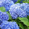 Гортензия BLUE DANUBE (Hydrangea Blue Danube)