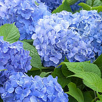 Гортензия BLUE DANUBE (Hydrangea Blue Danube), фото 1