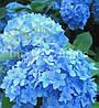 Гортензия NIKKO BLUE (Hydrangea Nikko Blue)