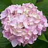 Гортензия SHARONA (Hydrangea Sharona)