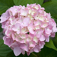 Гортензия SHARONA (Hydrangea Sharona), фото 1
