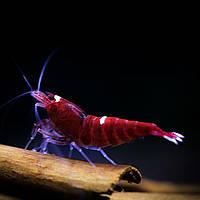 Креветка Ред Руби (Taiwan Bee Red Ruby)