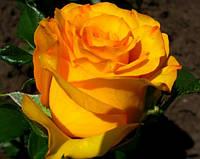 """Саженцы роз """"Керио"""", фото 1"""