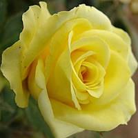 "Саженцы роз ""Кронос"" (""Кронус""), фото 1"