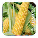 Семена кукурузы сахарной Наско Zea 75/26 F1 4500 семян Nasko