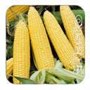 Наско ЗЕА 80/24 Ф1 2000 сем. кукуруза Наско