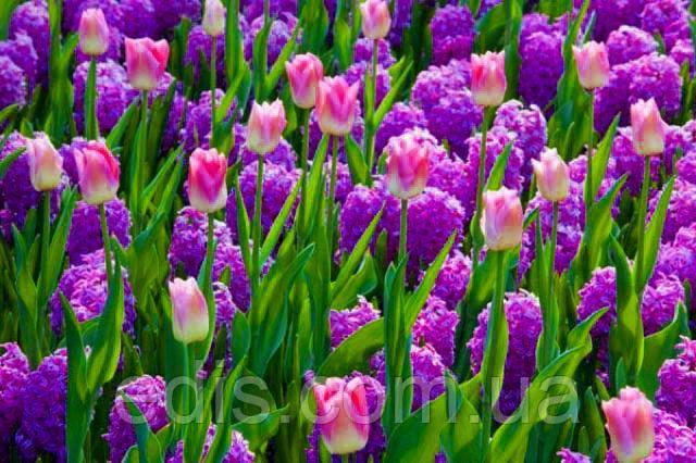 Красивая клумба из луковичных цветов Сказка