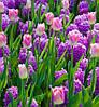 Арт-набор Сказка (тюльпаны, гиацинты) 6 луковиц