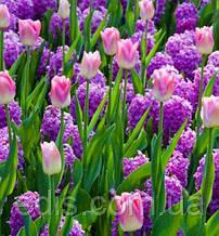 Арт-набір Казка (тюльпани, гіацинти) 6 цибулин