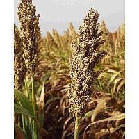 Кейрас - сорго, 300 000 семян, EURALIS Франция