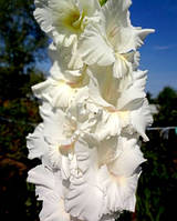 Гладиолус Белый дуб, фото 1