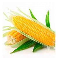 Барселона F1– сахарная кукуруза, 20 000 семян, Мнагор, Украина