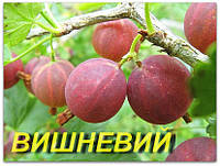 "Саженцы крыжовника ""Вишневый"" (ЗКС) 2 года"