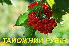 """Саженцы  Калины """"Таежный Рубин"""" (ЗКС) 3 г."""