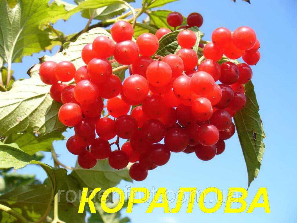 """Саженцы  Калины """"Кораловая"""" (ЗКС) 3 г."""