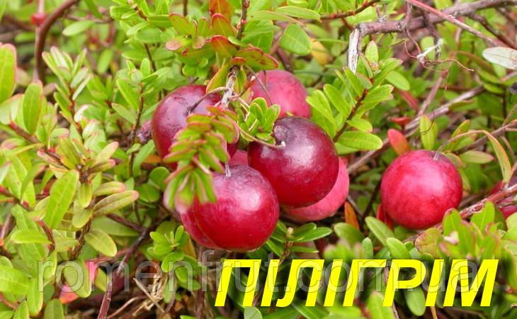 "Саженцы клюквы ""Пилигрим"" 3 г."