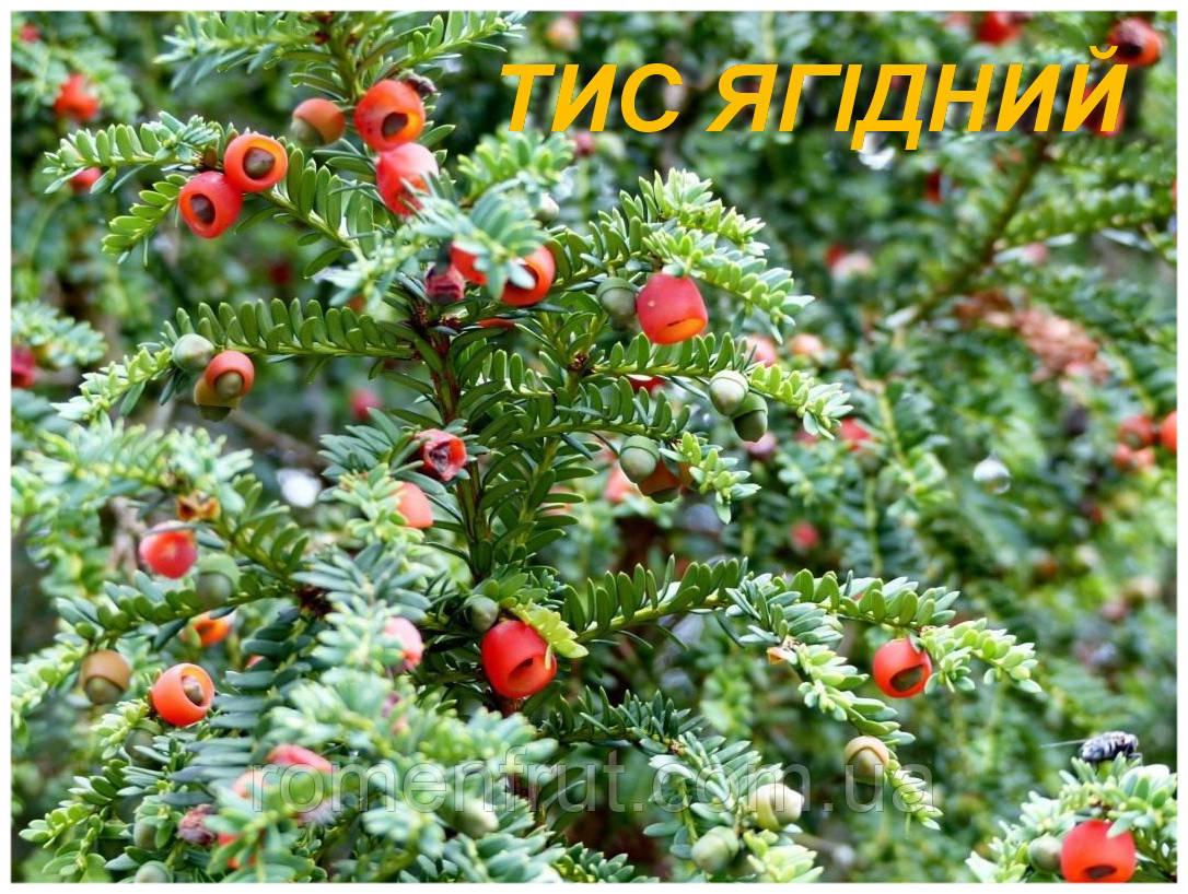 Саженцы Тиса ягодного 2 г.