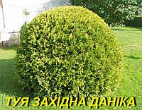 """Саженец Туи западной """"Даника"""" (ЗКС) 3 г."""