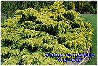 """Саженцы можжевельника среднего пфитцериана """"Old Gold"""" (ЗКС) 3г."""