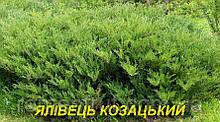Саженцы можжевельника Козацкого (ЗКС) 3г.